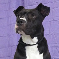 American Staffordshire Terrier Mix Dog for adoption in LaGrange, Kentucky - Hannah