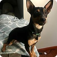 Adopt A Pet :: Jack - Shawnee Mission, KS