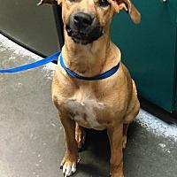 Adopt A Pet :: Stella - North Wilkesboro, NC