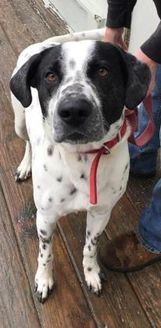 Dalmatian Mix Dog for adoption in Cooperstown, New York - Dice