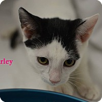 Domestic Shorthair Kitten for adoption in Miami Shores, Florida - Harley