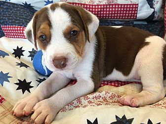 Border Collie Mix Puppy for adoption in Redding, California - Doodle