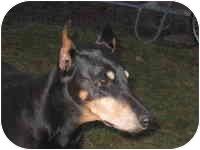 Doberman Pinscher Dog for adoption in Arlington, Virginia - Lady
