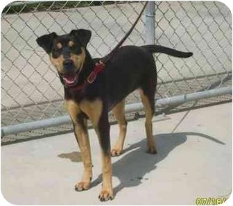 Rottweiler/Labrador Retriever Mix Dog for adoption in Austin, Minnesota - Dodie