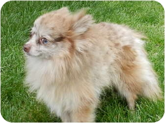 Pomeranian Mix Dog for adoption in Brazil, Indiana - Jake