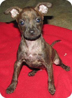 Boston Terrier/Chihuahua Mix Puppy for adoption in Somers, Connecticut - Radar: Mr. Personality! :)