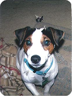 Jack Russell Terrier Dog for adoption in Austin, Texas - Russell