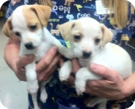 Beagle Mix Puppy for adoption in Hollister, California - Peanut and Popcorn