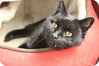 Domestic Shorthair Cat for adoption in Medfield, Massachusetts - Found in Medfield