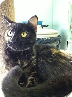 Domestic Shorthair Cat for adoption in Port Hope, Ontario - Amoira