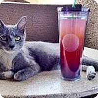 Adopt A Pet :: Isabelle - Chandler, AZ