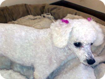 Poodle (Miniature) Mix Dog for adoption in Overland Park, Kansas - Angel