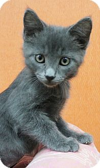 Russian Blue Kitten for adoption in Benbrook, Texas - Uno