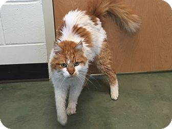 Domestic Longhair Cat for adoption in Edgewood, New Mexico - Furryville