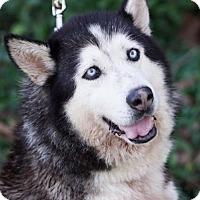 Siberian Husky Dog for adoption in Vallejo, California - Sally