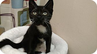 Domestic Shorthair Kitten for adoption in Tampa, Florida - Domino