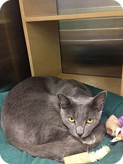 Domestic Shorthair Cat for adoption in San Leandro, California - Tucker