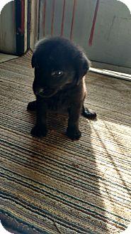 Labrador Retriever Mix Puppy for adoption in Hillsboro, Ohio - Lab Pups