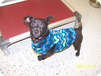 Chihuahua Mix Dog for adoption in Burgaw, North Carolina - Haley