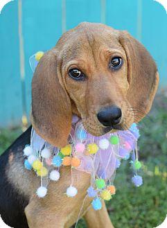 Bloodhound Mix Puppy for adoption in Glastonbury, Connecticut - Finley