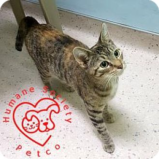 Domestic Shorthair Cat for adoption in Janesville, Wisconsin - Kaleidoscope