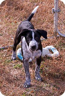 Border Collie/Australian Cattle Dog Mix Puppy for adoption in Staunton, Virginia - abraham $200