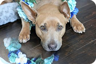 German Shepherd Dog/Labrador Retriever Mix Dog for adoption in Los Angeles, California - Ramona aka The Donkey