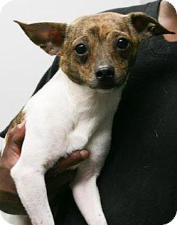 Chihuahua Mix Dog for adoption in Philadelphia, Pennsylvania - Clay