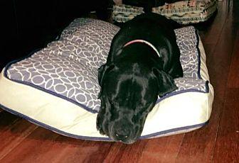 Labrador Retriever/Cane Corso Mix Dog for adoption in Laguna Niguel, California - Mac