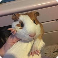 Adopt A Pet :: Daphne - Bayville, NJ