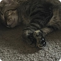 Adopt A Pet :: Dominic - Pearland, TX