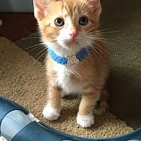 Adopt A Pet :: Tom Katsu - Orange, CA