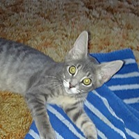 Adopt A Pet :: Catrick Swayze - Highland, IN