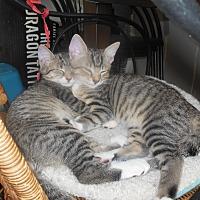 Adopt A Pet :: Brownie&Sunny -Love Bug Kitten - New York, NY