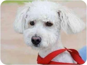 Maltese/Poodle (Miniature) Mix Puppy for adoption in Sherman Oaks, California - Simon