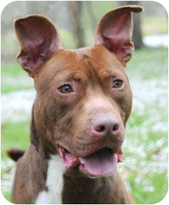 American Staffordshire Terrier/Pit Bull Terrier Mix Dog for adoption in Chicago, Illinois - Killian