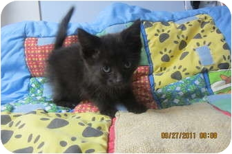 American Shorthair Kitten for adoption in Sterling Hgts, Michigan - Aled (very vocal)