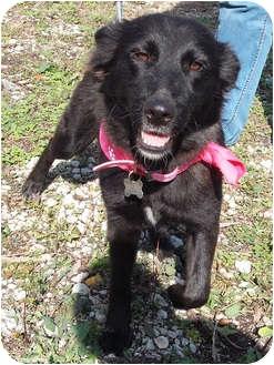 Shepherd (Unknown Type)/Spaniel (Unknown Type) Mix Dog for adoption in Detroit, Michigan - Suzy-Pending
