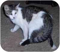 Domestic Shorthair Cat for adoption in Lexington, Missouri - Marie