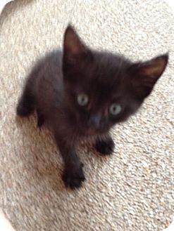 Domestic Mediumhair Kitten for adoption in Orlando, Florida - Eboni
