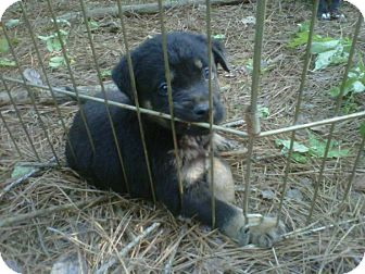 Rottweiler Mix Puppy for adoption in Parsippany, New Jersey - Rookie