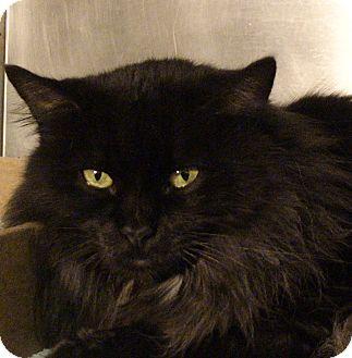 Domestic Longhair Cat for adoption in El Cajon, California - Wanda