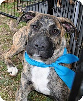 Labrador Retriever/Boxer Mix Puppy for adoption in Huntsville, Alabama - Zeus