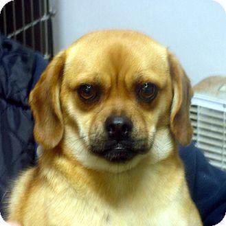 Pug/Beagle Mix Dog for adoption in Manassas, Virginia - Bethany
