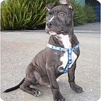 Adopt A Pet :: Maddox - San Diego, CA