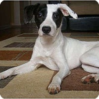 Adopt A Pet :: Bambi - Toronto/Etobicoke/GTA, ON