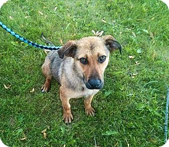 German Shepherd Dog/Labrador Retriever Mix Dog for adoption in Binbrook, Ontario - Lola