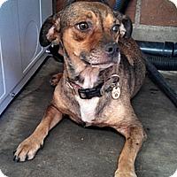 Adopt A Pet :: Mimi - Chandler, AZ