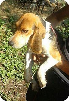Beagle Mix Dog for adoption in Moulton, Alabama - Happy