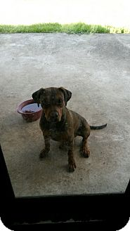 Rottweiler/American Pit Bull Terrier Mix Dog for adoption in Hollywood, Florida - BOBBY JR